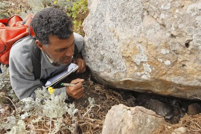 Tunisie; ile de Zembra; PIM juin 2009; Ridha Ouni; puffin cendré